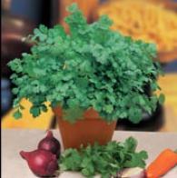 Koriander CORIANDER Cilantro for Leaf, Frö till Koriander