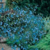 Hänglobelia LOBELIA (Trailing) Blue Cascade, Frö till Hänglobelia