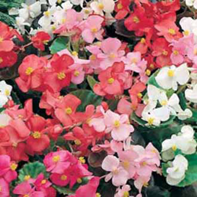 Begonia, BEGONIA Special Mixed F1-Frö till Begonia