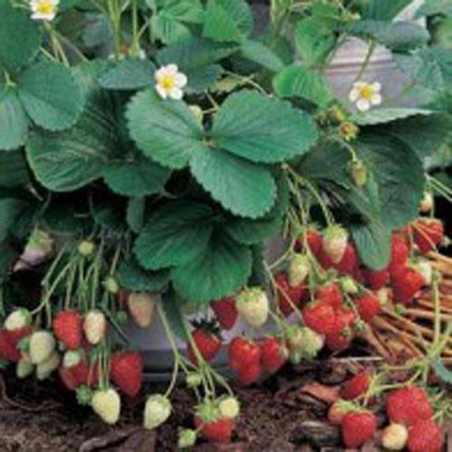 Jordgubbar STRAWBERRY Sweet Fresca#, Frö till Jordgubbar