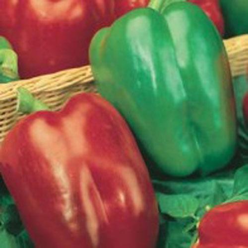 Paprika PEPPER (Sweet) California Wonder, Frö till Paprika