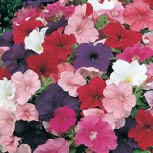 Petunia PETUNIA Special Multiflora Mixed, Frö till Petunia