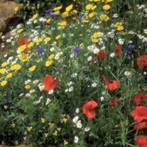 Sädesfält frömix Vilda blommor - Cornfield Mixture, Frö till Sädesfält frömix