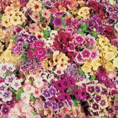 Sommarflox, PHLOX Tapestry Mixed-Frö till Sommarflox