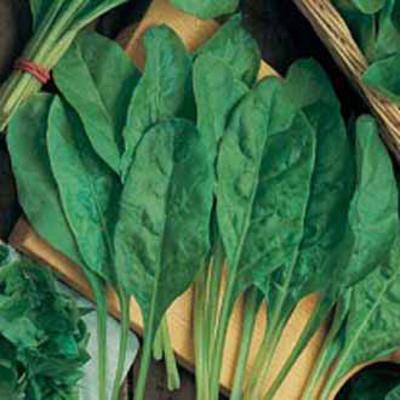 Spenat, SPINACH BEET Perpetual Spinach-Frö till Spenat