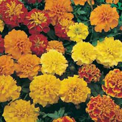 Tagetes, MARIGOLD (French) Dwarf Double Mixed-Frö till Tagetes