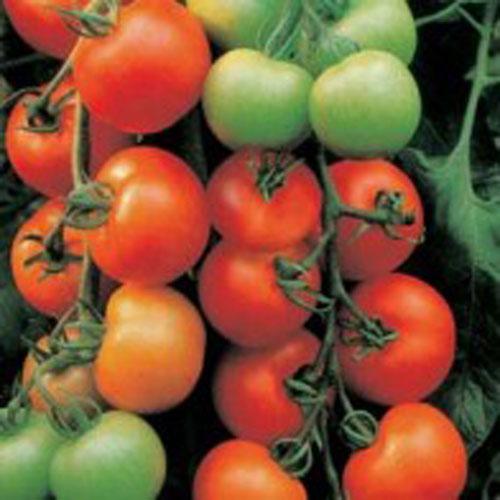Tomat TOMATO Ailsa Craig, Frö till Tomat