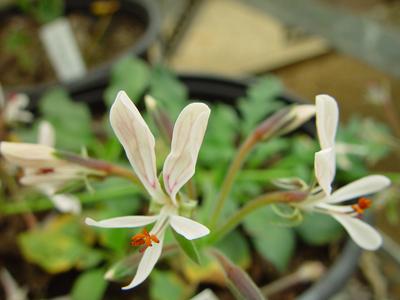 P. campestre  -vildpelargon, vildart, vildpelargonfrö, frö pelargonfrö, pelargonium