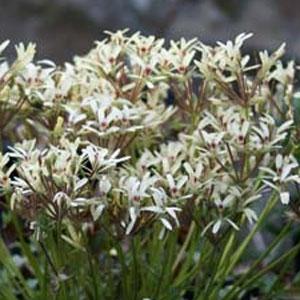 P. aridicola - fröer-vildpelargon, vildart, vildpelargonfrö, frö pelargonfrö, pelargonium