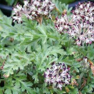 P. auritum var carneum - fröer-vildpelargon, vildart, vildpelargonfrö, frö pelargonfrö, pelargonium