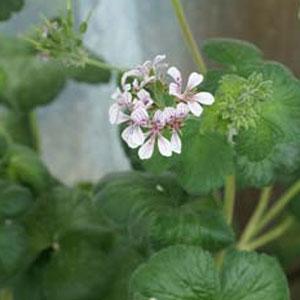 P. australe 'Redondo' ...-vildpelargon, vildart, vildpelargonfrö, frö pelargonfrö, pelargonium