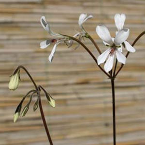 P. barklyi-vildpelargon, vildart, vildpelargonfrö, frö pelargonfrö, pelargonium