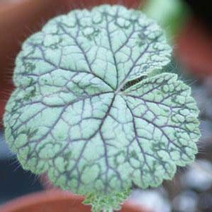 P. barklyi, vildpelargon, vildart, vildpelargonfrö, frö pelargonfrö, pelargonium