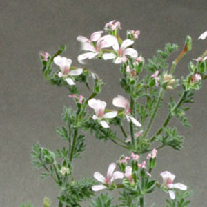 P. crassipes - fröer-vildpelargon, vildart, vildpelargonfrö, frö pelargonfrö, pelargonium