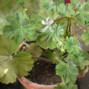 P. inquinans, zoned and scented - fröer-vildpelargon, vildart, vildpelargonfrö, frö pelargonfrö, pelargonium