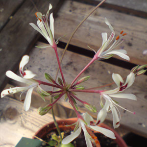 P. nervifolium Klein Roggeveld...-vildpelargon, vildart, vildpelargonfrö, frö pelargonfrö, pelargonium