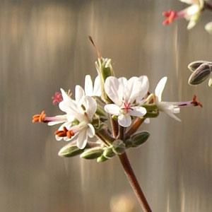 P. rotundipetalum - fröer-vildpelargon, vildart, vildpelargonfrö, frö pelargonfrö, pelargonium