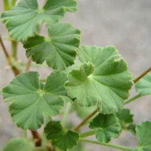 P. worcesterae - fröer,