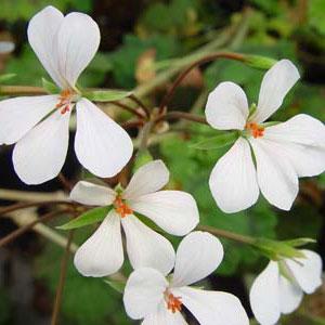P. zonale - fröer-vildpelargon, vildart, vildpelargonfrö, frö pelargonfrö, pelargonium