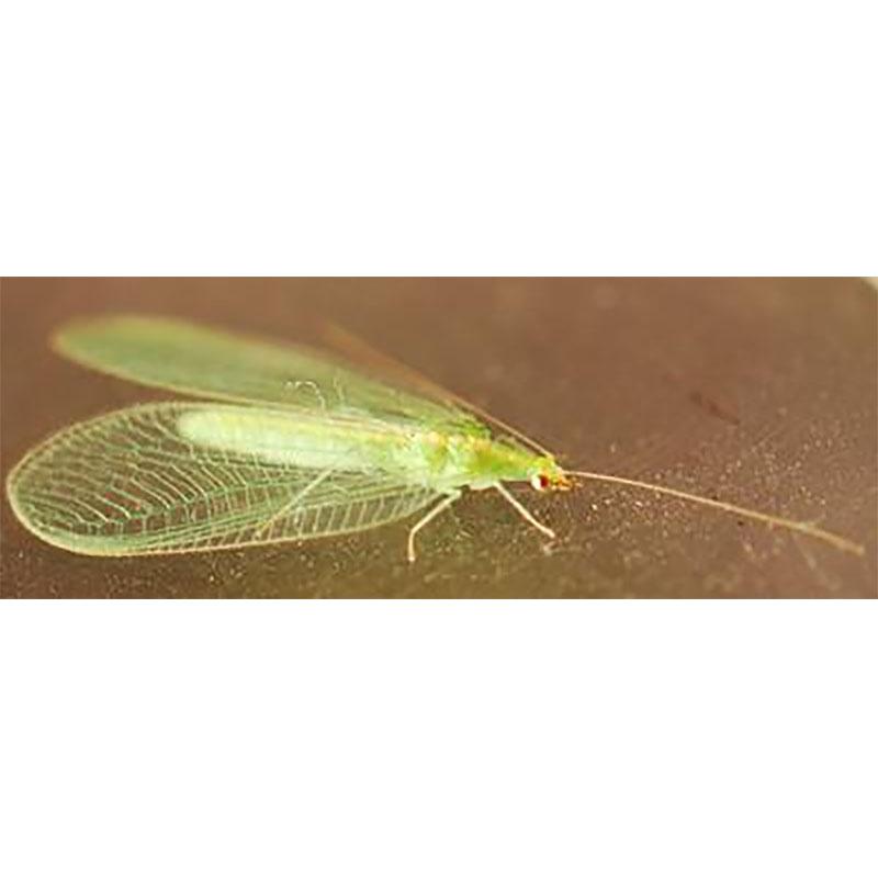 Guldögonslända mot bladlöss, Chrysoperla-Biologisk bekämpning mot bladlöss Chrysoperla