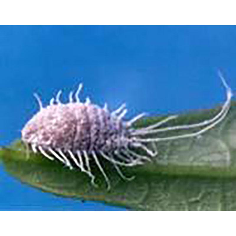 Långsvansad ullus (Pseudococcus longispinus)