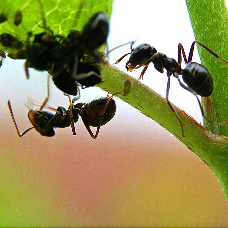 Nemasys - biologisk bekämpning mot myror
