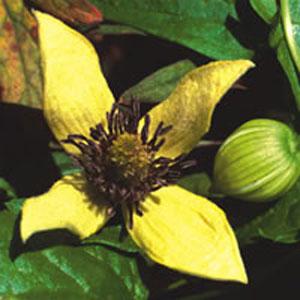 Clematis serratifolia-