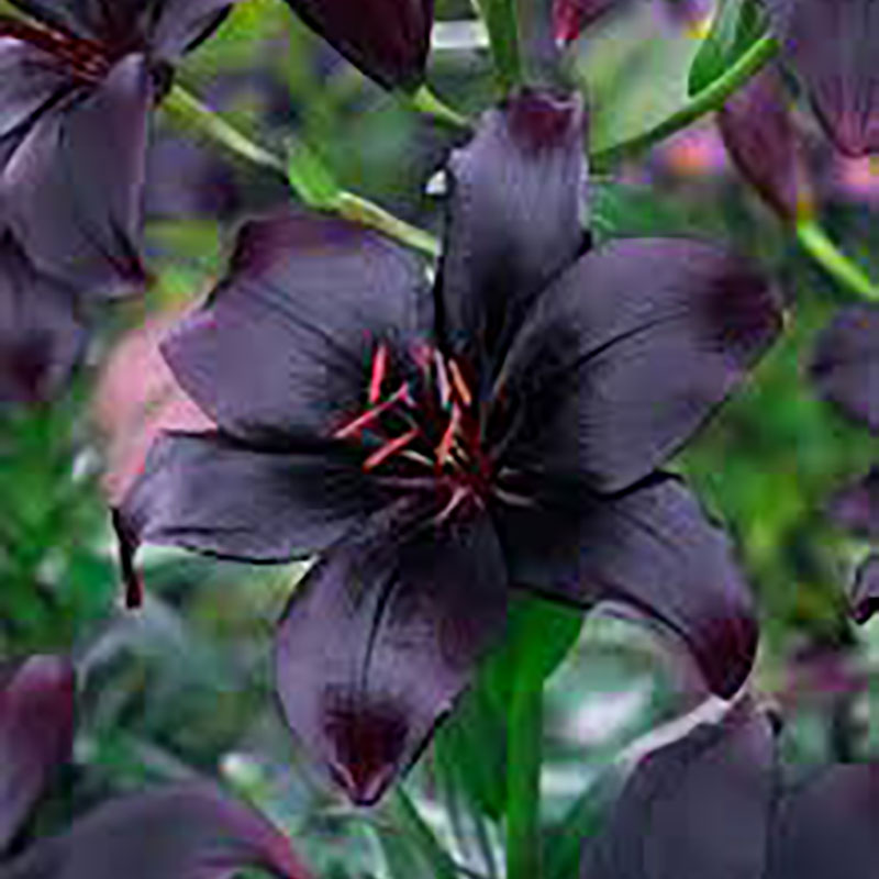 Asiatisk lilja 'Black'