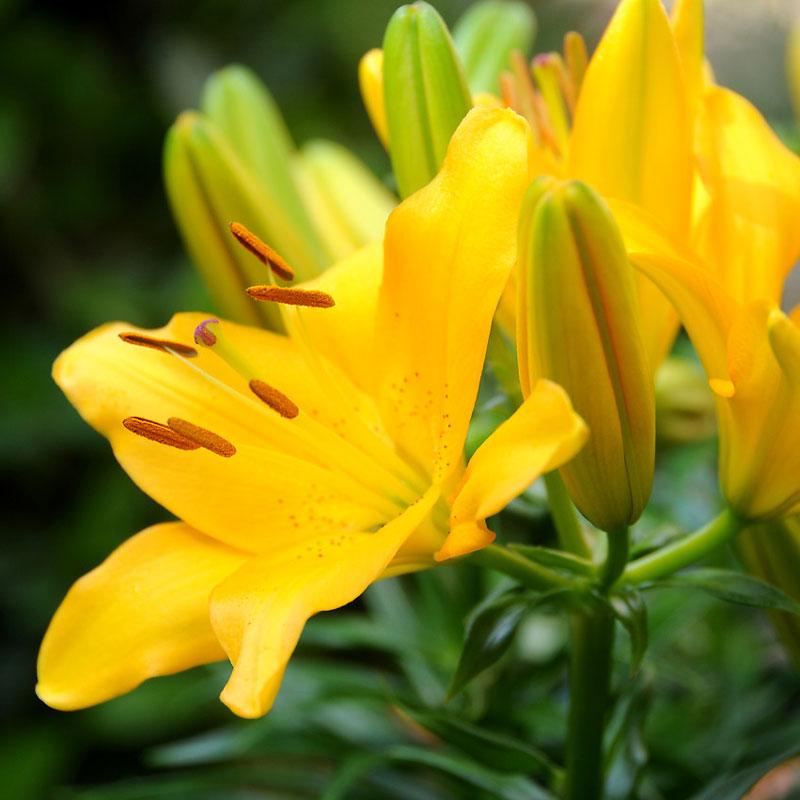 Asiatisk lilja 'Yellow', gul
