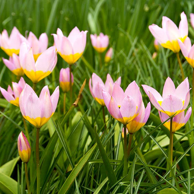 Syrentulpan Tulipa Bakari 'Lilac Wonder'