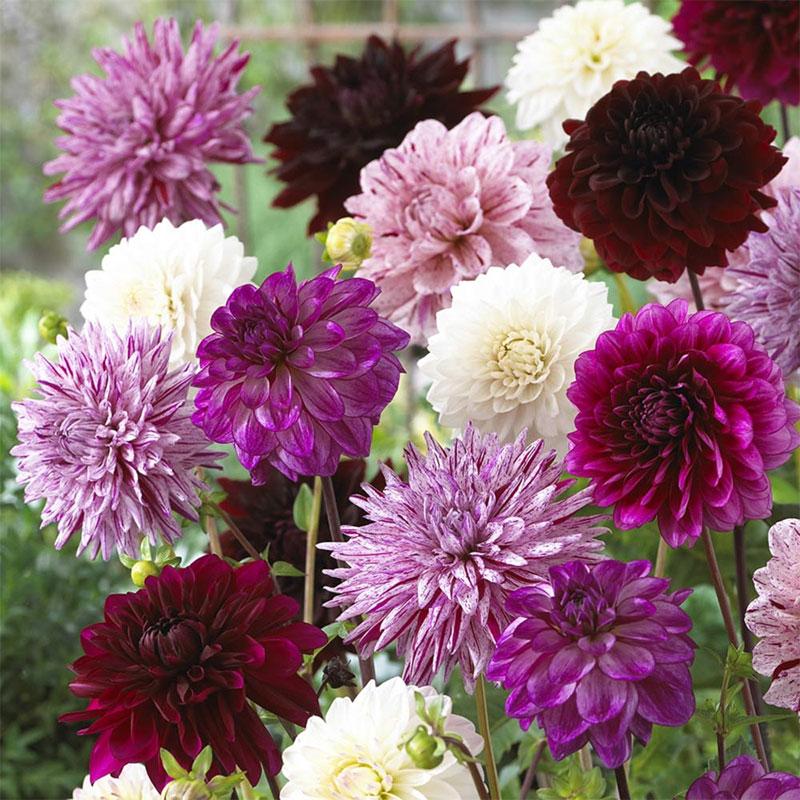 Knöl till Dahliamix purple blend