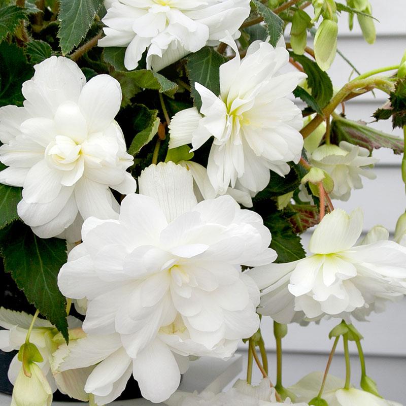 Knöl till Hängbegonia 'White'