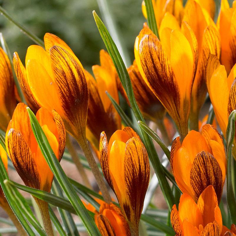 Orange krokus 'Orange Monarch'