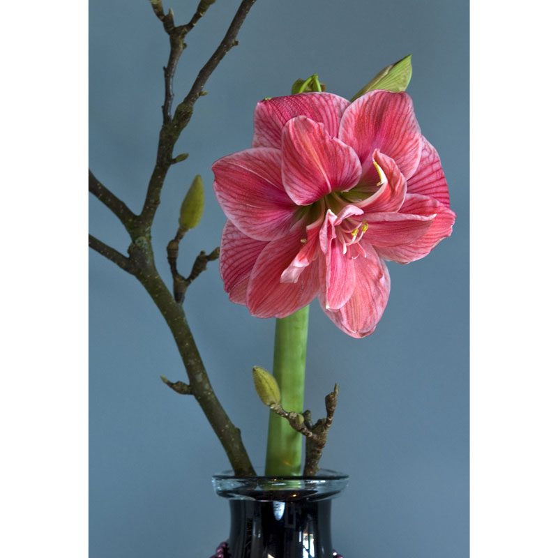 Lök till amaryllis, Hippeastrum × hortorum 'Pink Nymph'