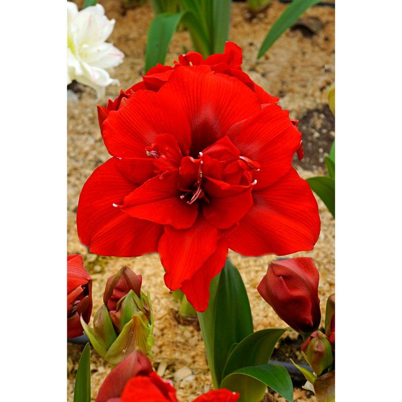 Blomma på amaryllislök 'Red Nymph'