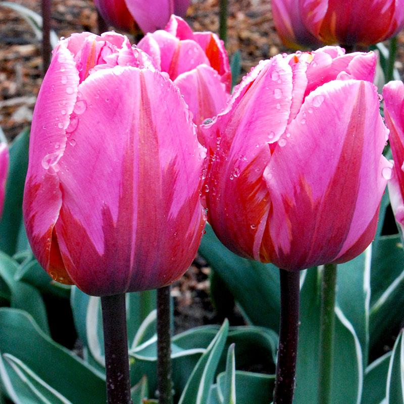 Tulpan, Tulipa 'Pretty Princess'