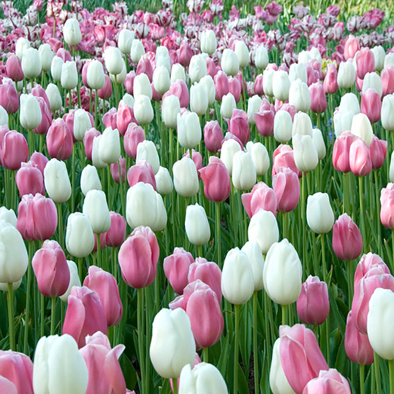Tulpan 'Marshmellow Fields'