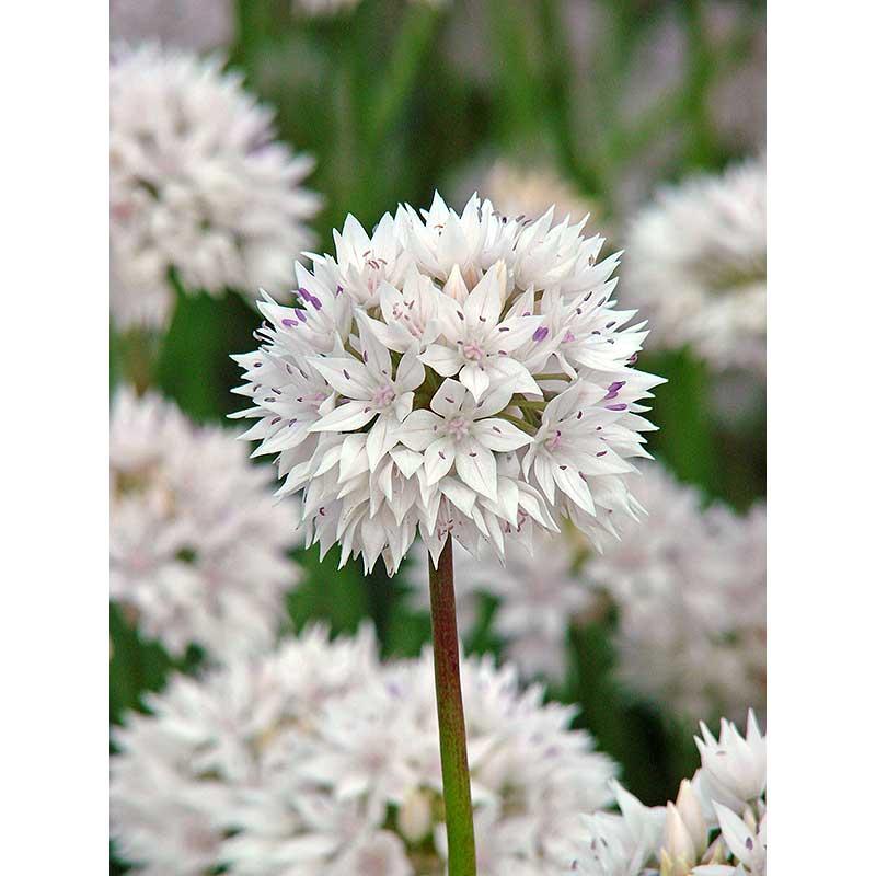 Vildlök, Allium ampletens 'Graceful'