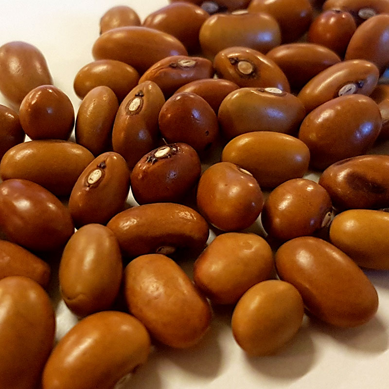 Kokböna Signe, Ekologiskt odlat frö till kokbönan Signe