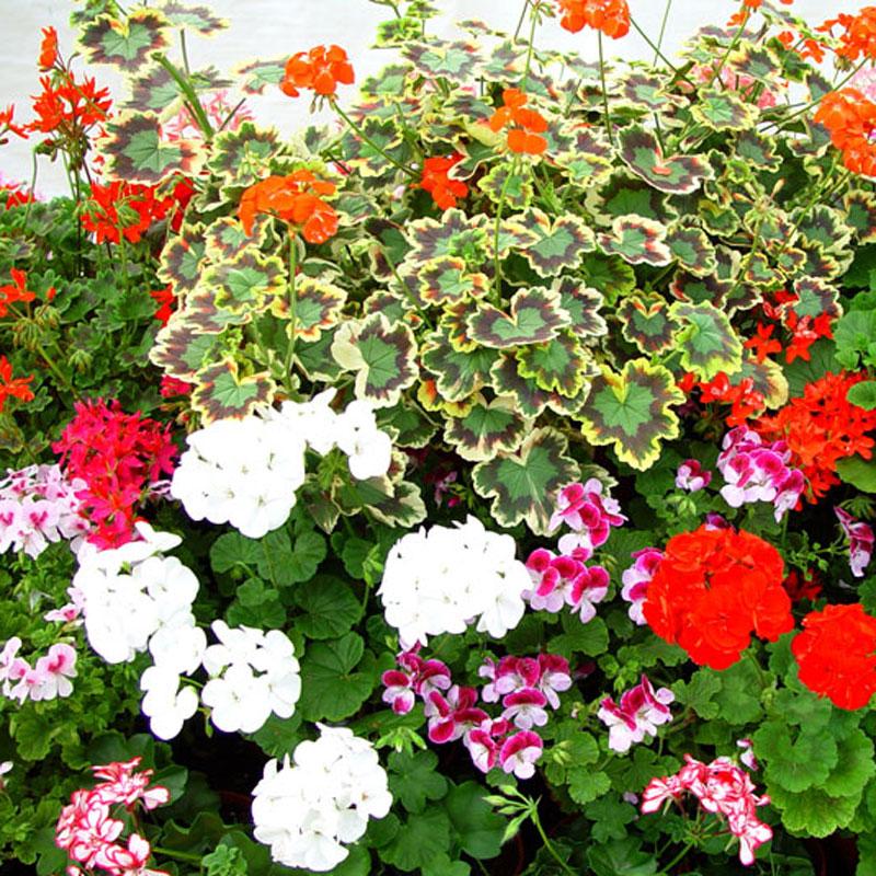 Pelargonnäring för fin blomning