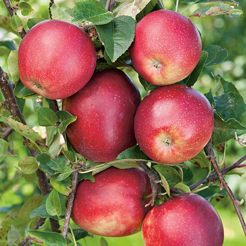 Äpple av sorten 'Summerred'