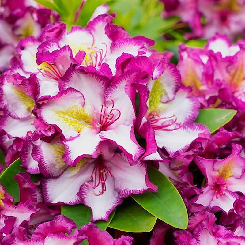 Närbild på bloma Rhododendron Pushy Purple