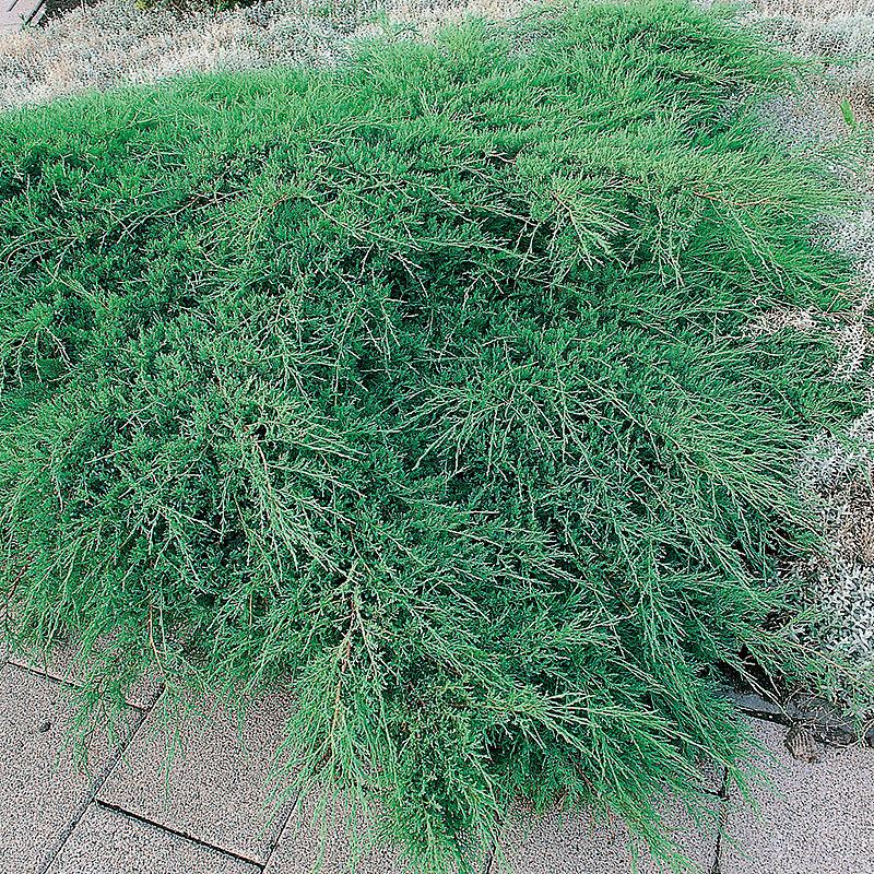 Juniperus viriginiana, Blyerts-en 'Grey Owl'
