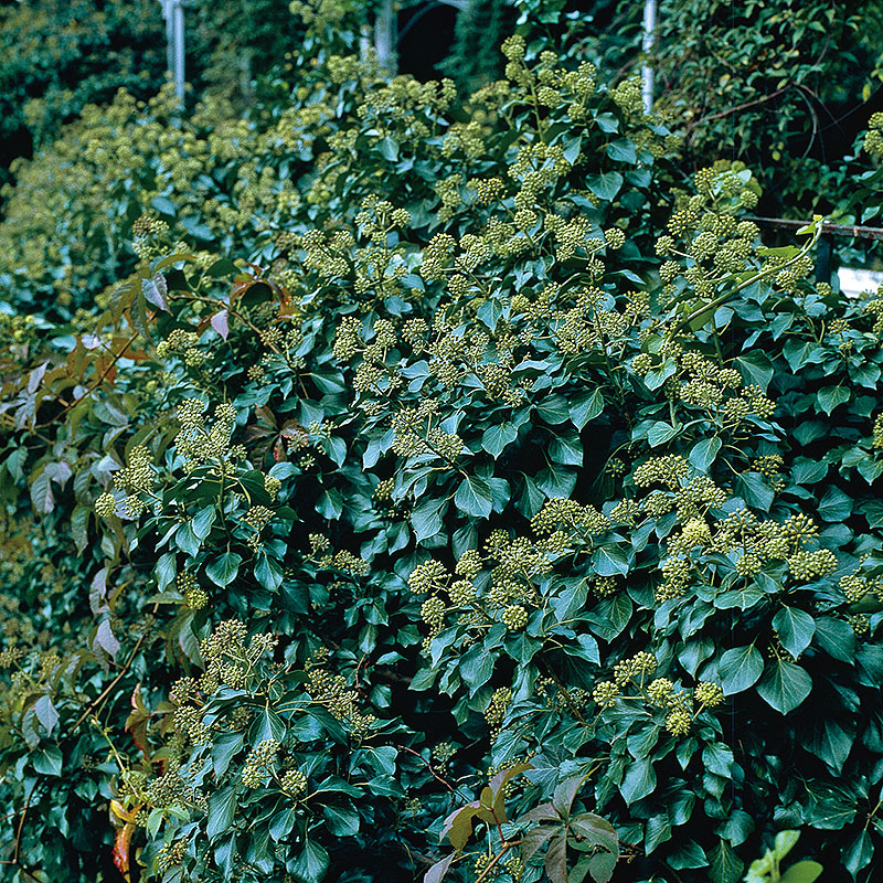 Buskmurgröna,  Hedera helix Arborescens