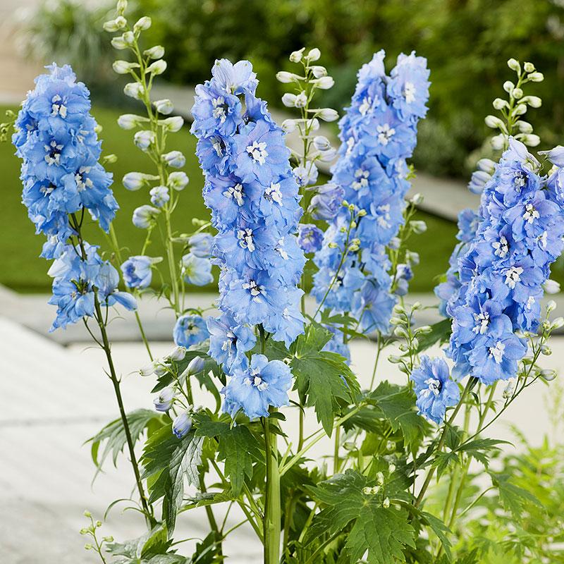 Delphinium El. Trädgårdsriddarsporre 'Blue Bird'