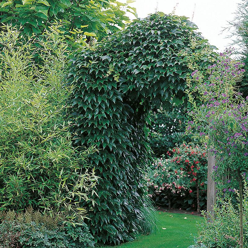 Engelmannsvin Parthenocissus quinquefolia Engelmannii