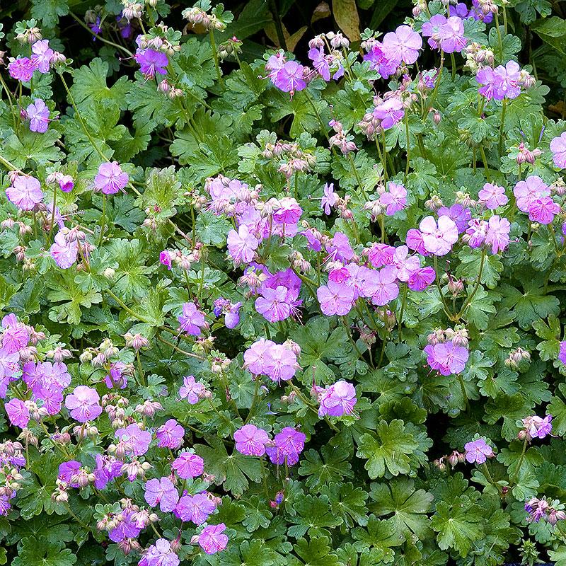 Geranium cantabrigiense, Liten Flocknäva 'Karmina'