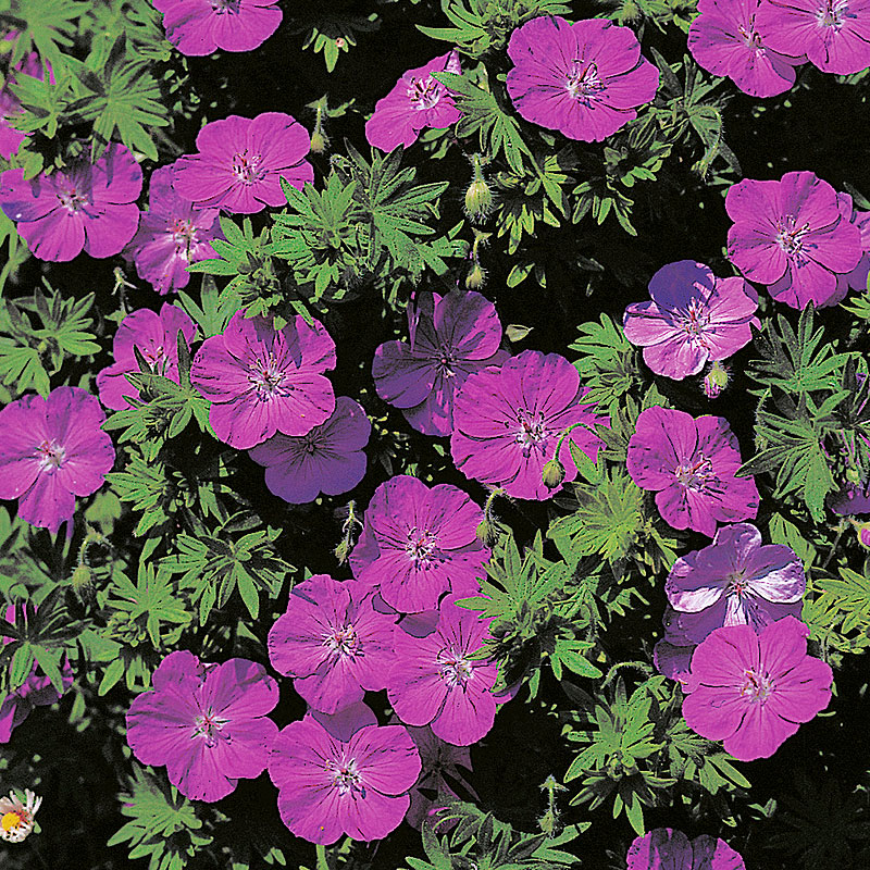 Geranium sanguineum, Blodnäva 'Ankums pride'