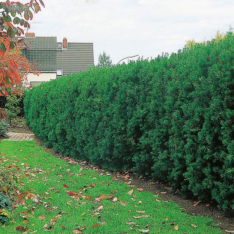 Hybrididegran, Taxus media 'Hicksii' häckväxt