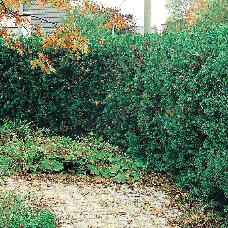 Idegran, Taxus media 'Hillii' häckväxt